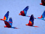 Parrots fly to the Clay Lick