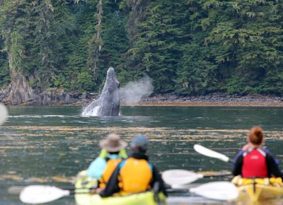 400x300-humpback-whale-spyhopping-next-to-kayakers