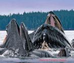453x330-alaska-whales-wildlife-glaciers-cameron-zegers