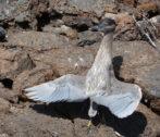 Lava Heron-2