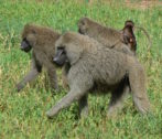 baboons 800